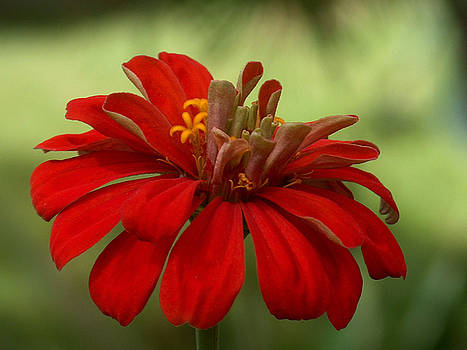 Racquel Morgan - Red Zinnia
