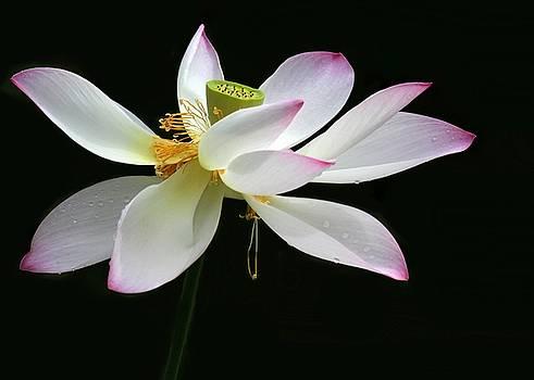 Sabrina L Ryan - Royal Lotus