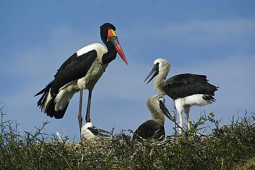 Michele Burgess - Saddlebill Storks in Nest