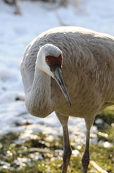 LAWRENCE CHRISTOPHER - Sandhill Crane in Winter