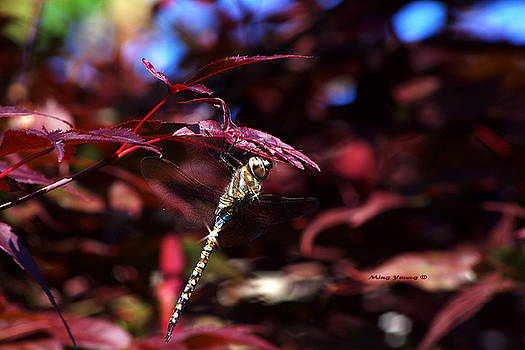 Ming Yeung - Shiny Dragonfly