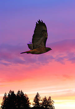 Nick Gustafson - Soaring Hawk