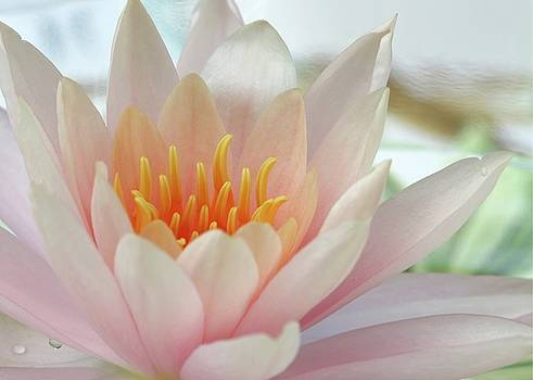 Sabrina L Ryan - Soft and Delicate Water Lily