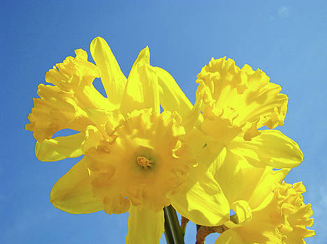 Baslee Troutman - Spring Daffodils Flowers Garden Blue Sky Baslee Troutman