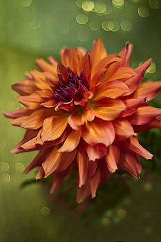 Wes and Dotty Weber - Summer Dahlia