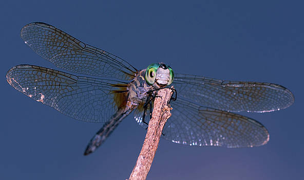 Dave Hahn - Sunning Dragonfly