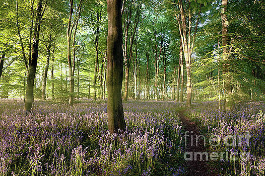 Simon Bratt Photography LRPS - Sunrise in bluebell forest with little path