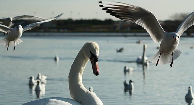 Martina Fagan - Swan and Gulls