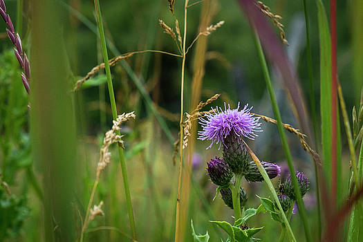Mary Lee Dereske - Thistle Blossom in Tall Grass
