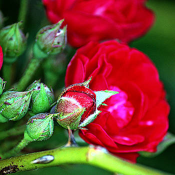KayeCee Spain - Tiny Red Rosebuds