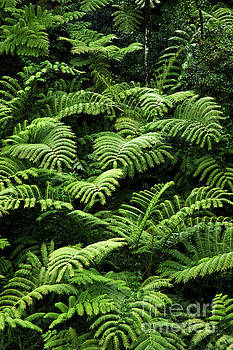 Charmian Vistaunet - Tree Ferns
