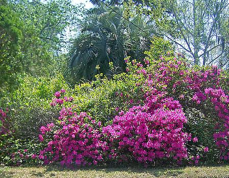 Patricia Taylor - Tropical Azalea Garden