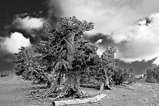 Christine Till - Twisted old Bristlecone Pine above Crater Lake - Oregon