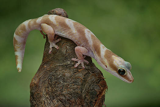 Nikolyn McDonald - Up and Over - Velvet Gecko