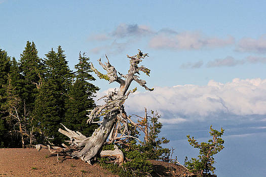 Christine Till - Whitebark Pine at Crater Lake