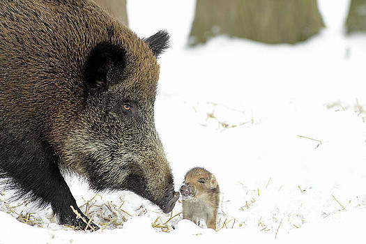 Duncan Usher - Wild Boar Mother And Baby