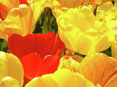 Baslee Troutman - Yellow Red Tulip Flowers art prints Baslee Trouman