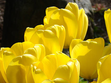 Baslee Troutman - Yellow Tulips Floral art prints Nature Garden