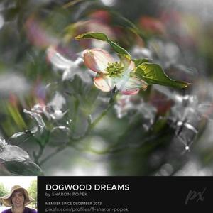 Weekly Photography Challenge Dogwood Trees Art Competition