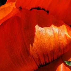 Wild About Poppies - 3 Images - Color Only Art Competition