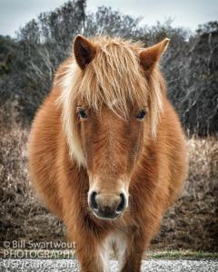 New Gallery Created For Assateague Pony Fine Art Photography