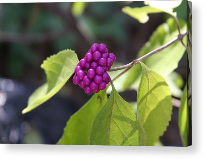 Berries Acrylic Print featuring the photograph American Beauty by Kenna Westerman