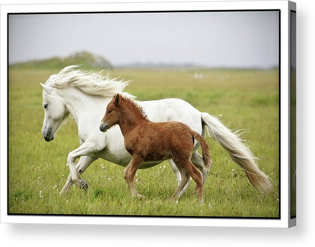 Horizontal Acrylic Print featuring the photograph Running Horses.... by Gigja Einarsdottir