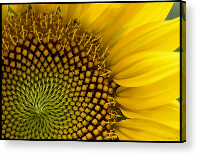 Flora Acrylic Print featuring the photograph Sunflower Study by Daniel G Walczyk