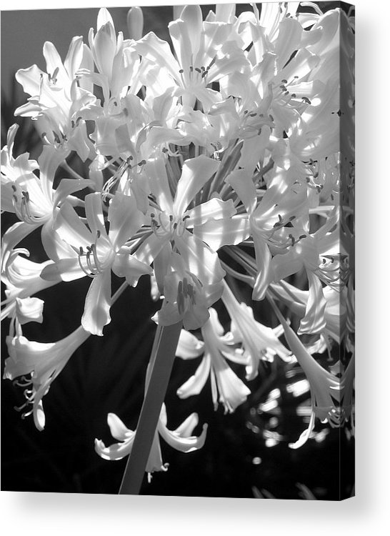 Lily Of The Nile Acrylic Print featuring the photograph Lily Of The Nile by Lindsey Orlando