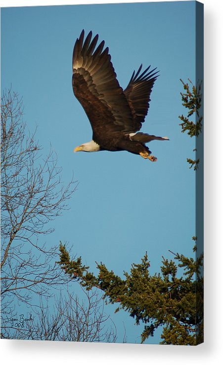 Eagle Acrylic Print featuring the photograph Tree Hopping by J D Banks