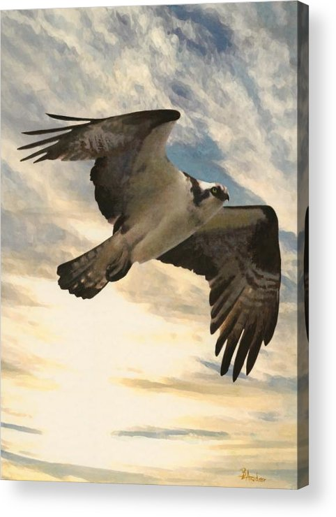 Ospree Acrylic Print featuring the painting High Spy by Brent Ander