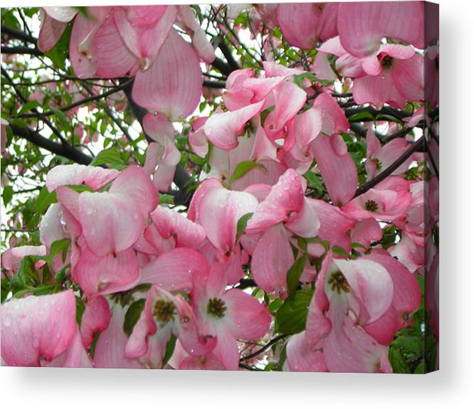 Flowers Acrylic Print featuring the photograph Magnolias by Heather Weikel