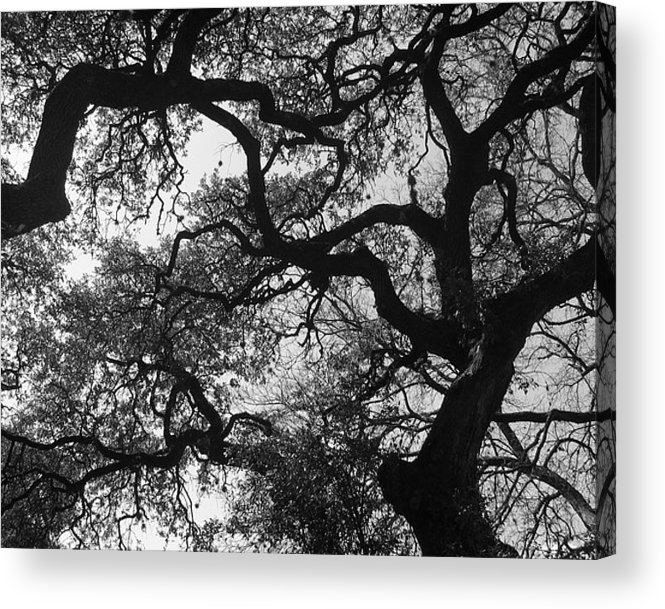 Tree Branches Acrylic Print featuring the photograph Tree Gazing by Lindsey Orlando