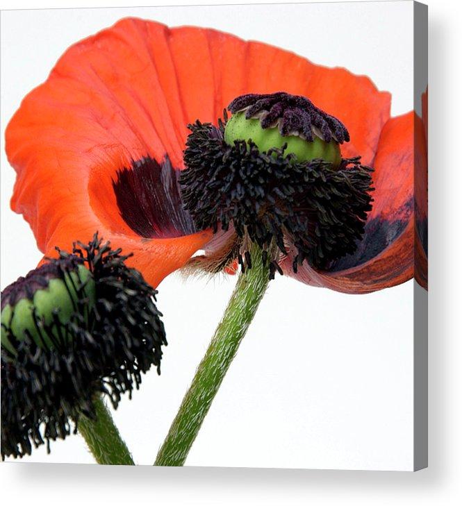 Indoors Acrylic Print featuring the photograph Flower Poppy In Studio by Bernard Jaubert