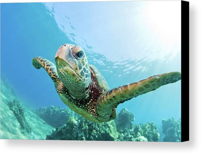 Horizontal Canvas Print featuring the photograph Sea Turtle, Hawaii by M.M. Sweet