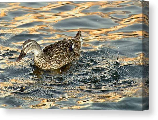 Duck Canvas Print featuring the photograph Duck Tracy by Marvin Rivera