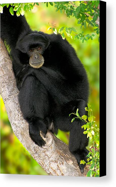 Ape Canvas Print featuring the photograph Missing You by Marvin Rivera