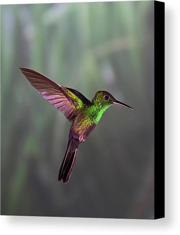Vertical Canvas Print featuring the photograph Hummingbird by David Tipling