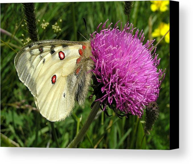 Butterfly Canvas Print featuring the photograph Blancarosa by Jean-Michel Ammon