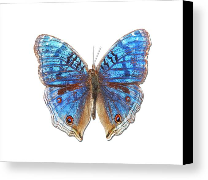 Horizontal Canvas Print featuring the photograph Brush-footed Butterfly Of Madagascar by MajchrzakMorel