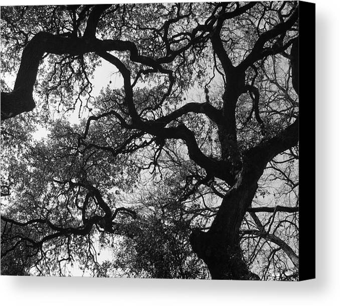 Tree Branches Canvas Print featuring the photograph Tree Gazing by Lindsey Orlando