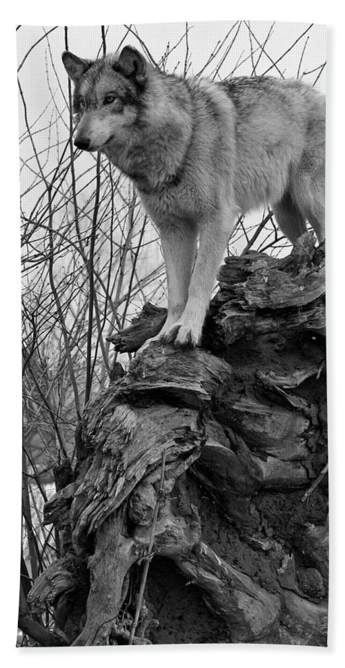 Black White Wolf Wolves Animal Wildlife Mammal Photography Photograph Canis Lupis Grey Timberwolf Hand Towel featuring the photograph On Top by Shari Jardina