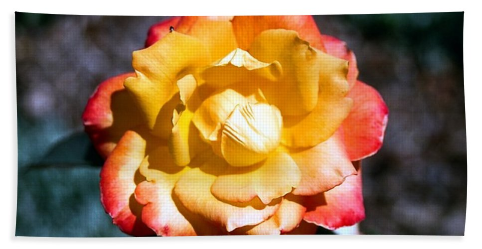 Rose Bath Towel featuring the photograph Red Tipped Yellow Rose by Dean Triolo