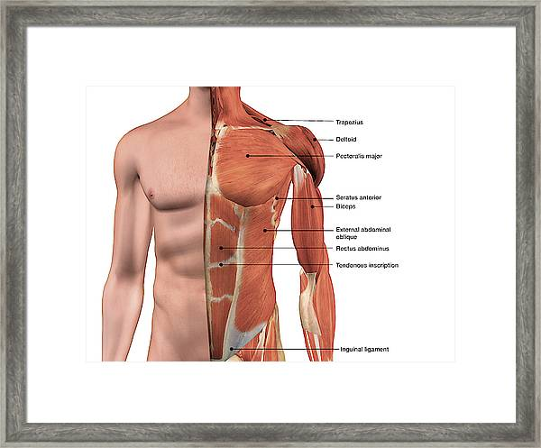 Male Chest Muscles Labeled On White Framed Print By Hank Grebe