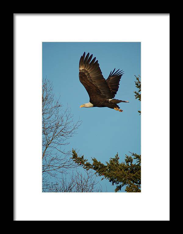 Eagle Framed Print featuring the photograph Tree Hopping by J D Banks