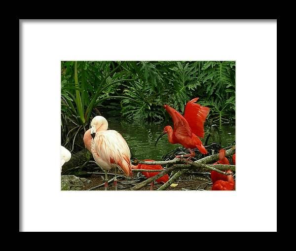 Birds Framed Print featuring the photograph Flamingo And Scarlet Ibis by Carol Turner