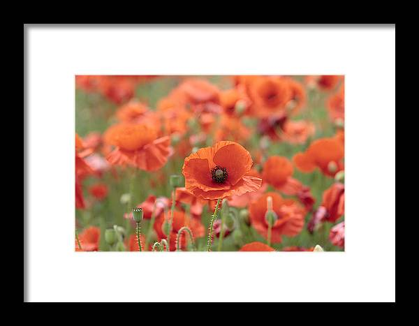 Poppy Framed Print featuring the photograph Poppies H by Phil Crean