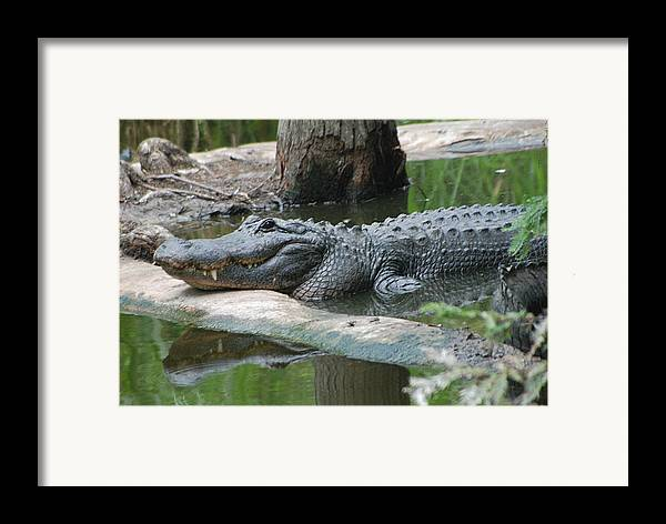Florida Framed Print featuring the photograph The Other Florida Gator by Margaret Fortunato