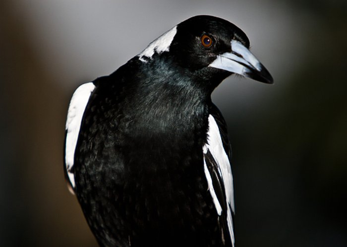 Animal Greeting Card featuring the photograph Australian Magpie by John Buxton