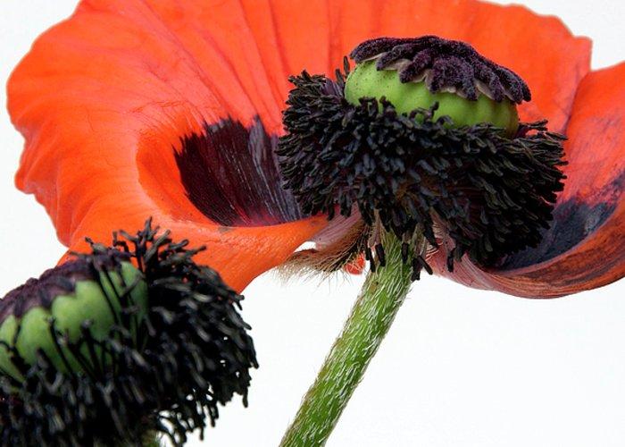 Indoors Greeting Card featuring the photograph Flower Poppy In Studio by Bernard Jaubert